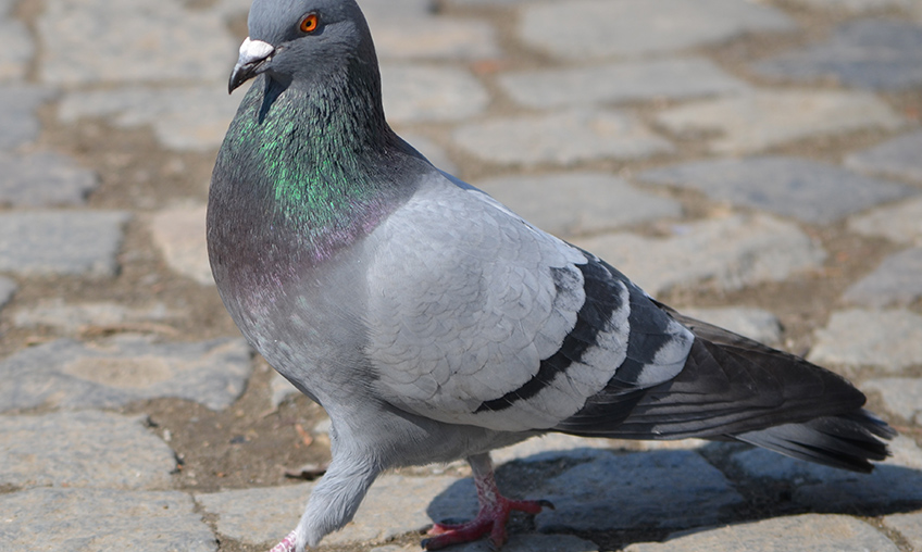 Alors : Are you Pigeon ?
